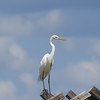 Great White Egret standing on a marker