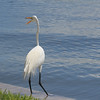 Great White Egret calls to another