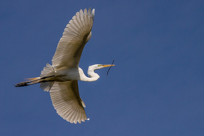 Great Egret with Stick for Nest