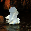 Egrets : Snowy Egret's