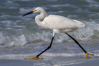 Snowy Egret Striding Down the Beach