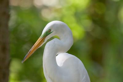 Egrets, Herons & Spoonbills