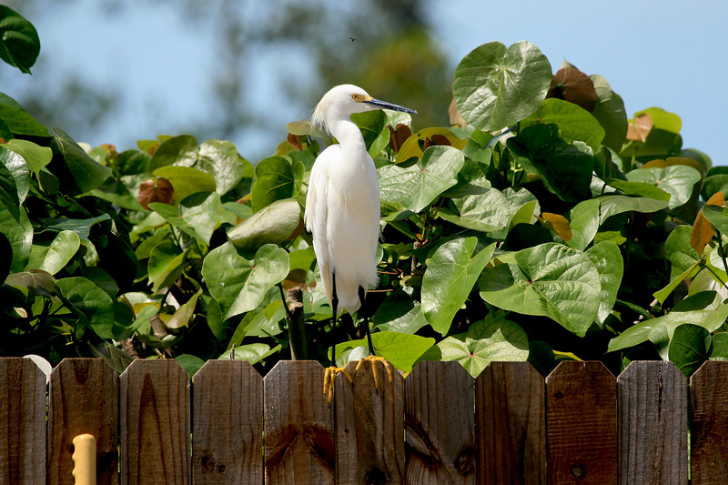 Snowy Egret with yellow feet standing on a fence