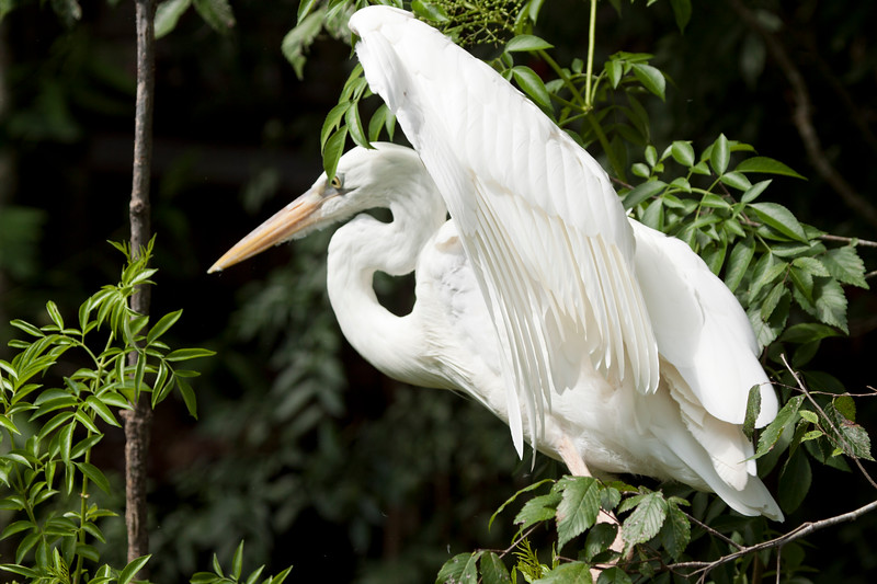 Great White Egret spreads wings in a tree