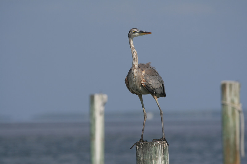 Great Blue Heron standing on post