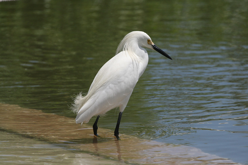Snowy Egret at the water's edge