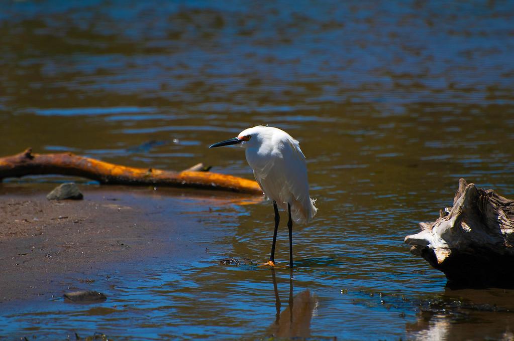 Snowy Egret