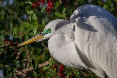 Great Egret in Dahoon Holly Tree