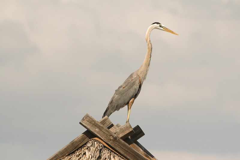 Great Blue Heron SS1098
