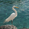 Great While Egret poses on a rock