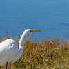 Egret with mouse going down throat
