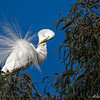 Great Egret breeding attire