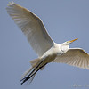 Great Egret off to get more nesting materials