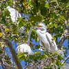 Great White Egret nestlings