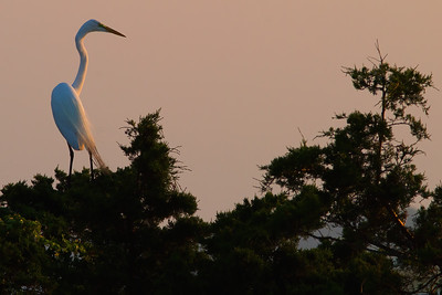 Great Egret at Dawn