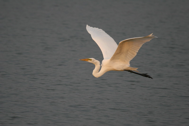 Great White Egret in graceful  flight