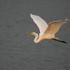 Great White Egret in graceful  flight