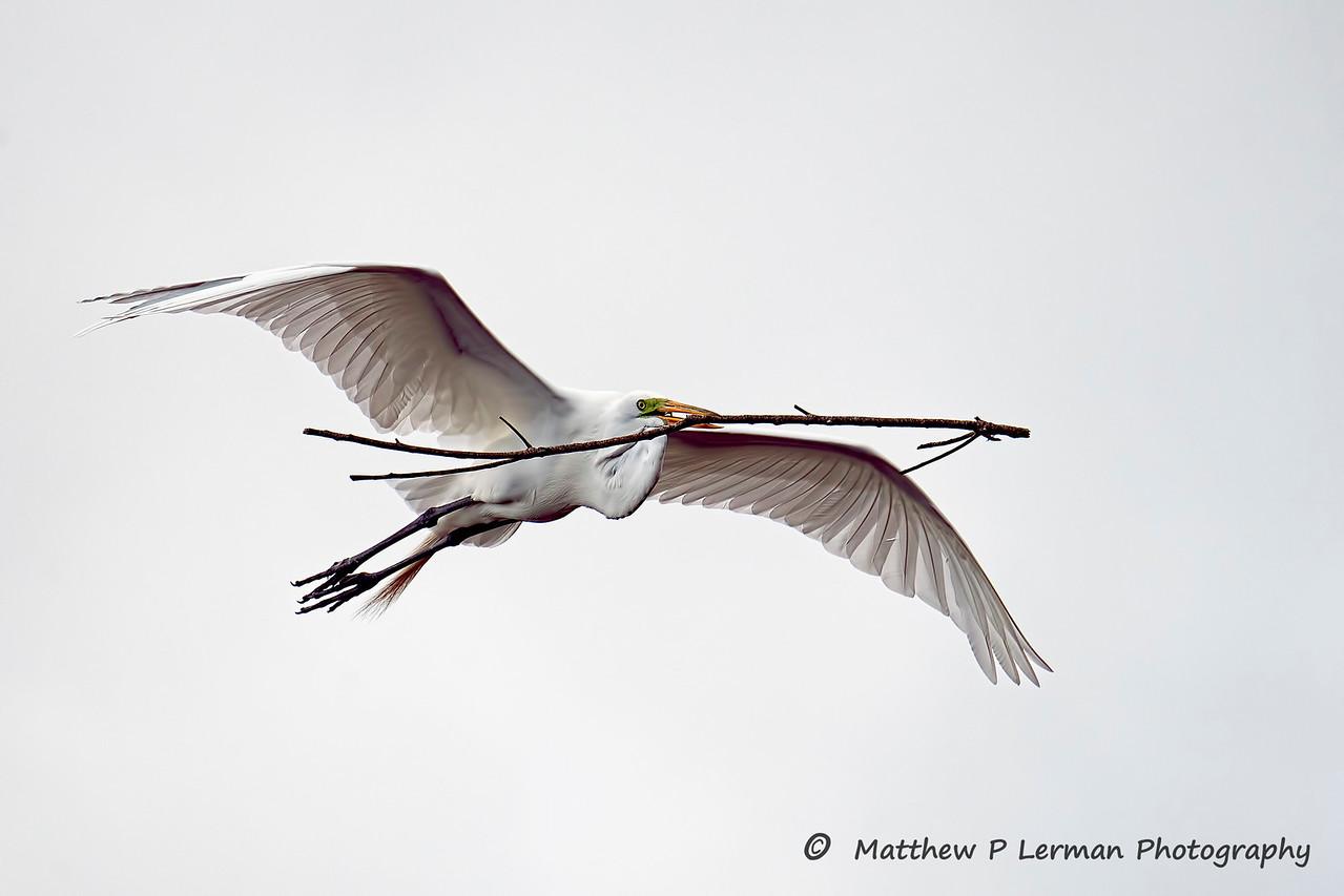 Great Egret    #1052