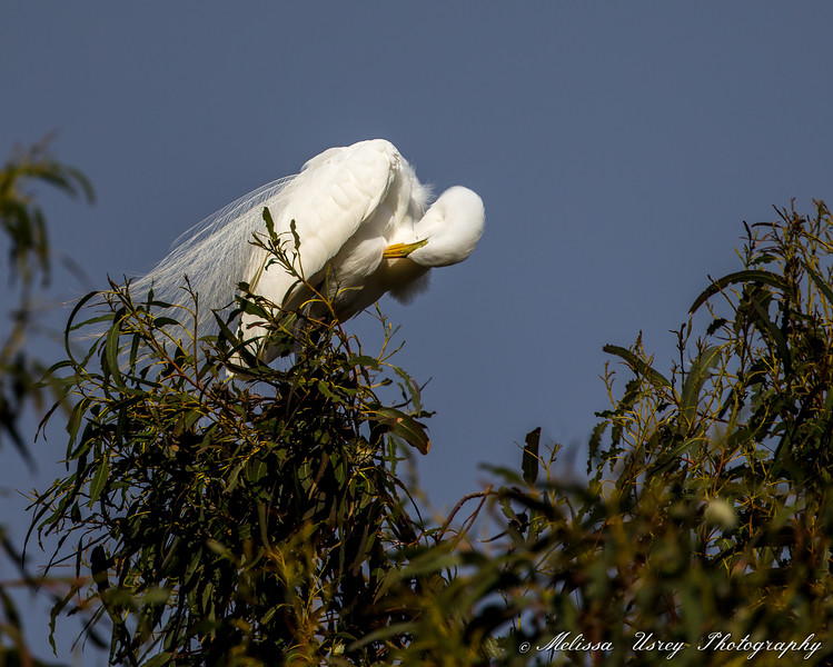 Great Egret preening above nest