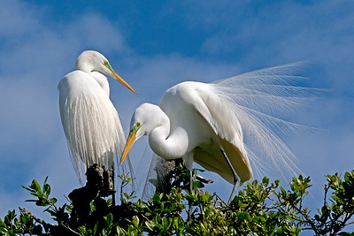 Couple of Great Egrets in a tree