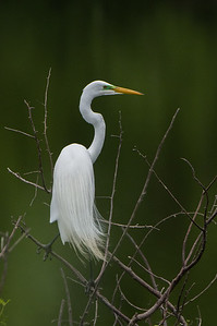 Great Egret (Aldea alba)
