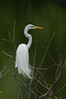 Great Egret (Aldea alba)
