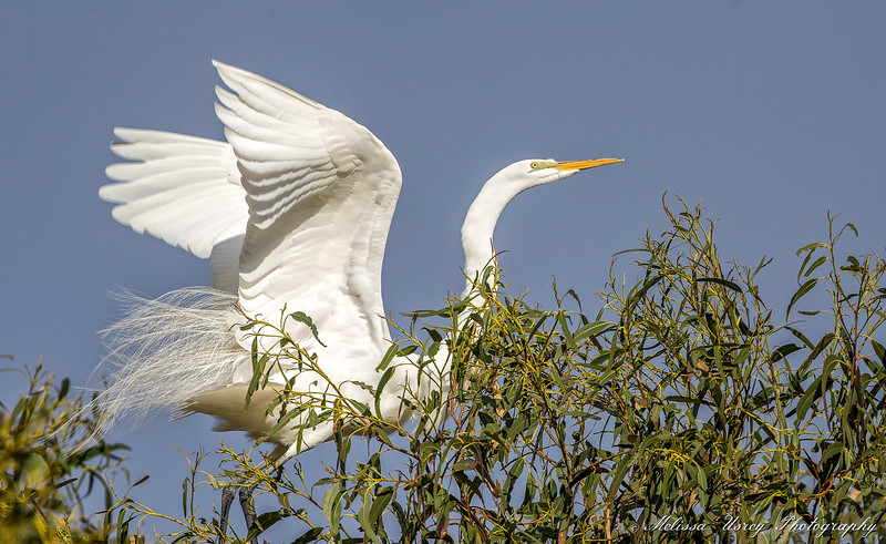 Great Egret showing off breeding plumes