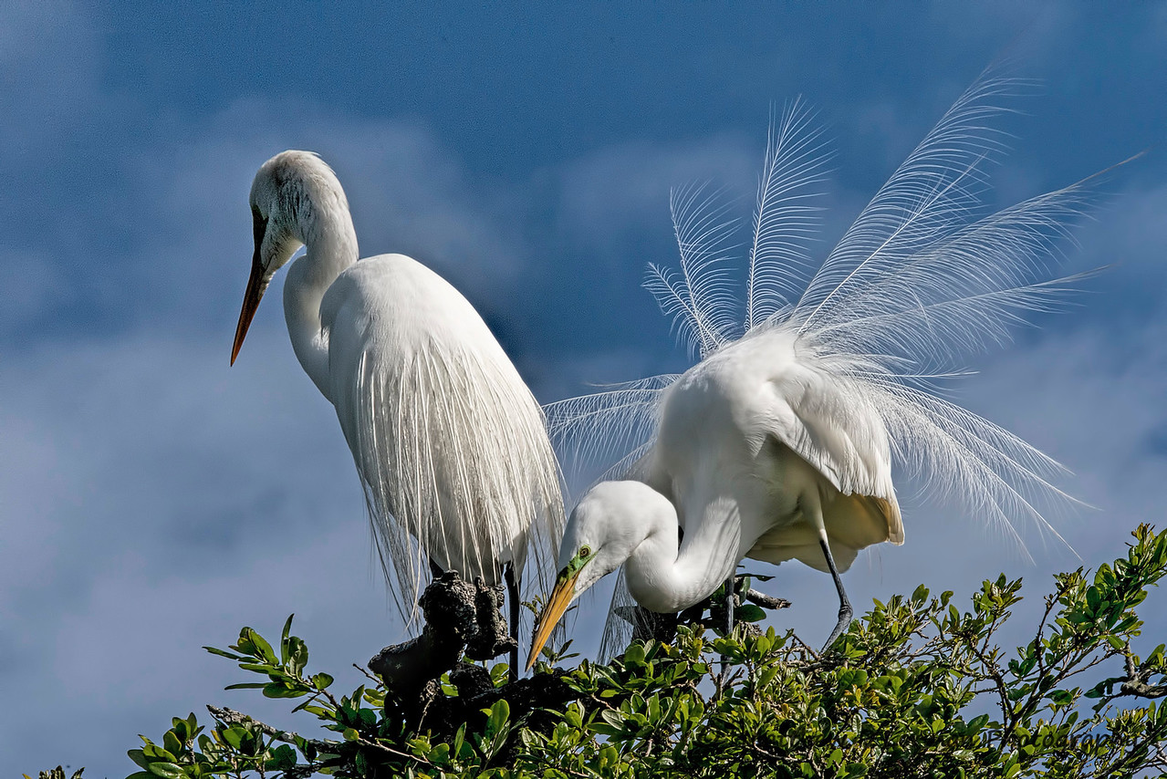 Great Egrets #1069