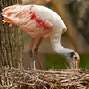 Roseate Spoonbill SS14898