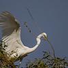 Great Egret bringing nesting material