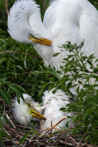 Preening Great Egret and Chick