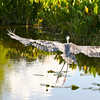 Great Blue Heron SS1063