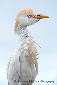 The Wet Look ~ Cattle Egret after a thunder storm
