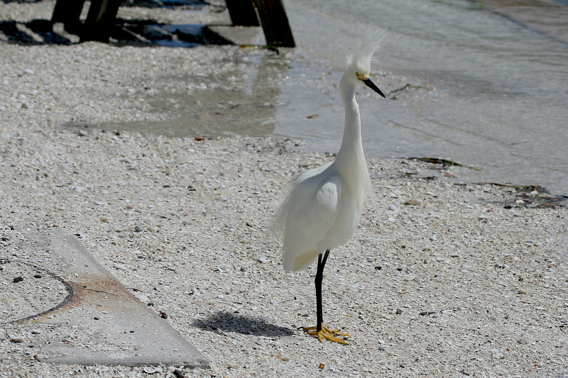 Snowy Egret with yellow feet stands on the beach