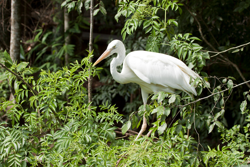 Great White Egret standing on limbs