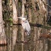 Great Blue Heron in tree covered inlet
