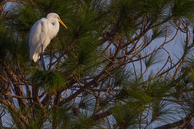 Great Egret in White Pine Tree