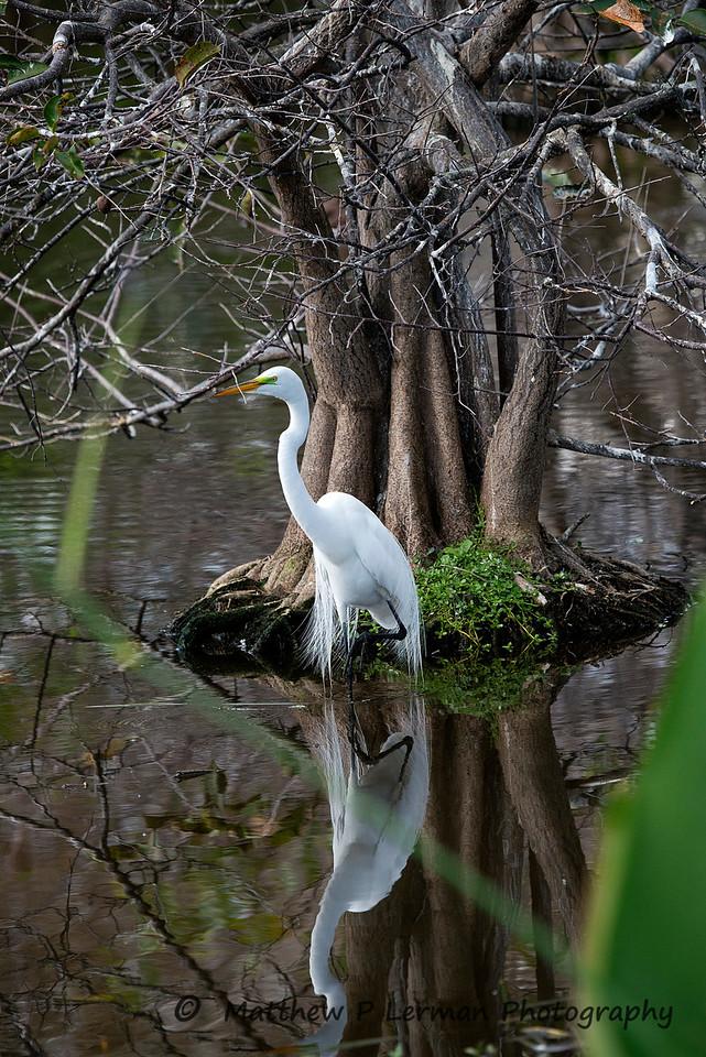 Great Egret near a Pond Apple Tree