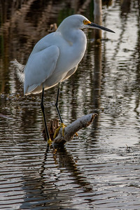 Snowy Egret in Evening Light