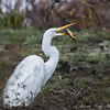 Great Egret with Catfish