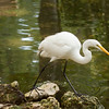 Great White Egret waits for a fish