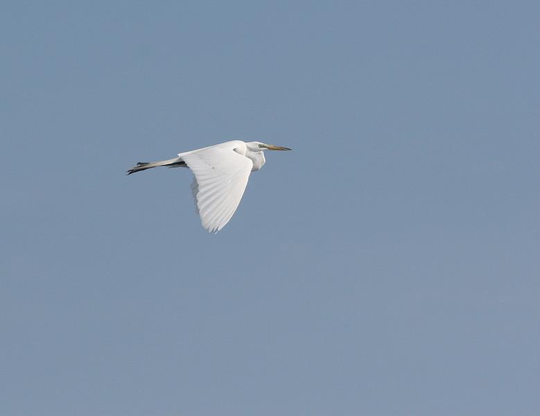 Great White Egret soars