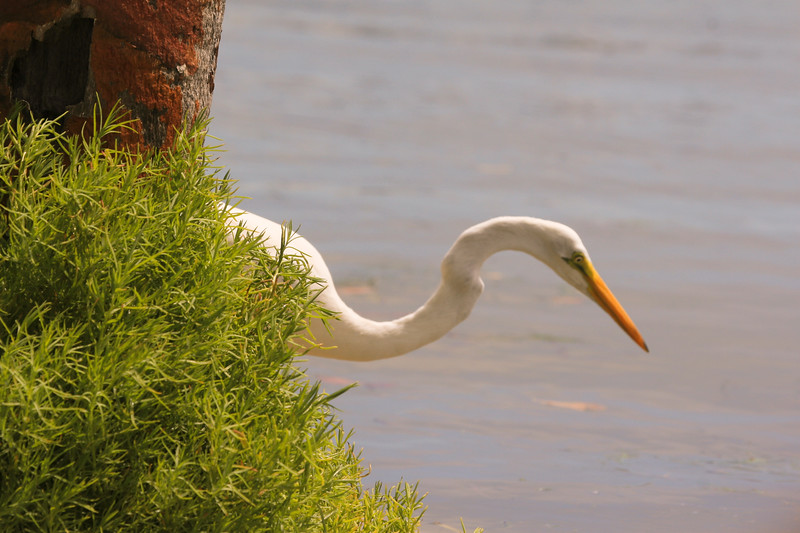 Great White Egret waits patiently for a fish to swim by
