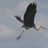 Great Blue Heron looks in flight