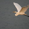Great White Egret in flight
