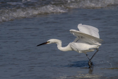 Foraging White-morph Reddish Egret
