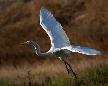 Great Egret landing with very small fish