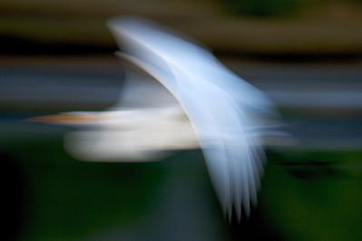 Dreaming egrets