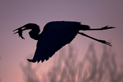 Silhouette of Great Egret with fish, early morning