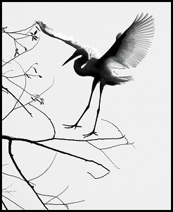 Great Egret silhouette